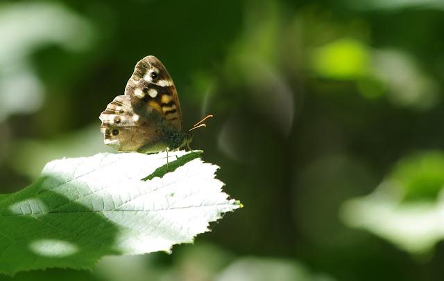 Pararge aegeria (L., 1758). Les Hautes-Lisières (Rouvres, 28), 8 septembre 2012. Photo : J.-M. Gayman