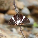 Castniidae : Telchin licus DRURY, 1773. Rio Zongo (alt. 600 m). Bolivie. 26 janvier 2008. Photo : J. F. Christensen
