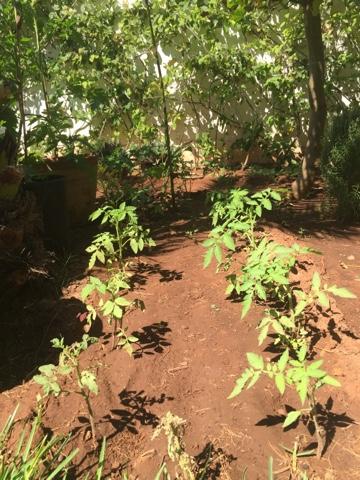 Les chants de tassaout la magie du compost - Espace entre les pieds de tomates ...