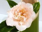 極淡桃色 八重〜牡丹咲き 割りしべ 大輪