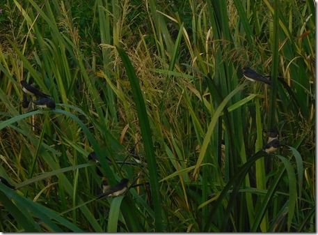 8 swallows in reeds