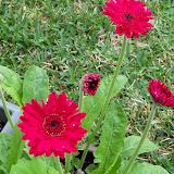 Gardening 2011 - 100_7425.JPG