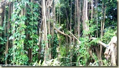 IMG_20171229_Banyan trees Orchid World