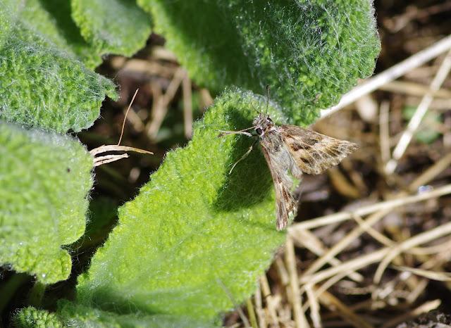 Carcharodus alceae (Esper, 1780). Les Hautes-Courennes (550 m), Saint-Martin-de-Castillon (Vaucluse), 20 juin 2015. Photo : J.-M. Gayman