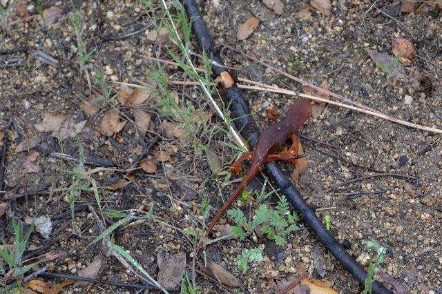 common salamander getting away from those with big feet