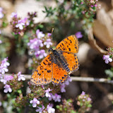 Melitaea didyma meridionalis STAUDINGER, 1870, mâle. Les Hautes-Courennes (549 m), Saint-Martin-de-Castillon (Vaucluse), 7 mai 2014. Photo : J.-M. Gayman