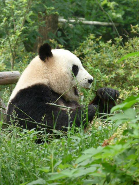 CHINE.SICHUAN.CHENGDU ET PANDAS - 1sichuan%2B267.JPG