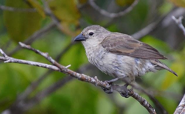Mangrove Finch