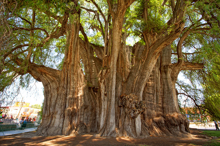 El Tule Tree (11 Most Amazing Trees to Put On Your Bucket List).