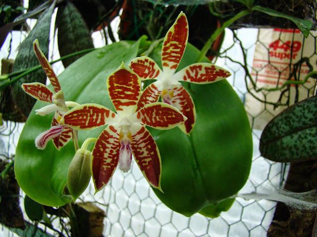 Phalaenopsis sumatrana DSC01313