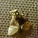 Megalopygidae : Megalopyge albicollis (WALKER, 1855), mâle. Santa Fe (Veraguas, Panamá), 18 octobre 2014. Photo : J.-M. Gayman