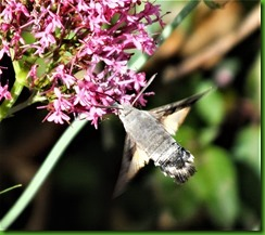Hummingbird Hawkmoth 3rd July 2017 (3)