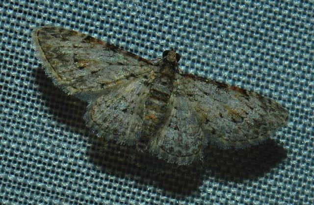 Probablement :  Geometridae : Larentiinae : Eupitheciini : Chloroclystis insigillata WALKER, 1862. Umina Beach (N. S. W., Australie), 28 décembre 2011. Photo : Barbara Kedzierski