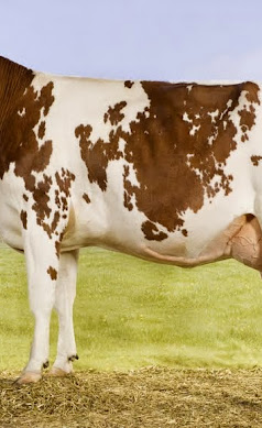 Bons-Holsteins Laura's (Classic).jpg