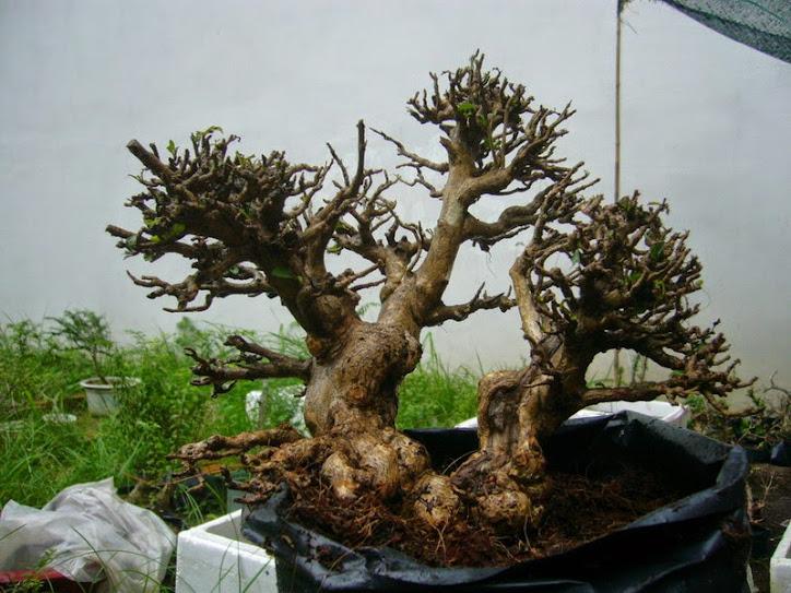 Bình linh bonsai phong cách ngoại khoe xương