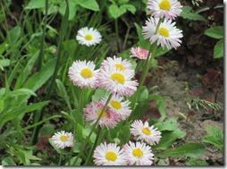 margaritas flores (10)