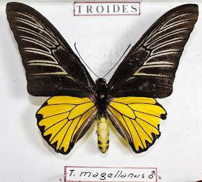 TROIDES MAGELLANUS.JPG