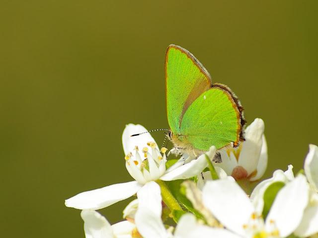 Callophrys rubi LINNAEUS, 1758. Hautes-Lisières (Rouvres, 28), 1er mai 2011. Photo : J.-M. Gayman