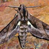 Eumorpha triangulum (Rothschild & Jordan, 1903), mâle. San Juan, près de Caranavi, 1000 m (Yungas, Bolivie), 24 décembre 2014. Photo : Jan-Flindt Christensen