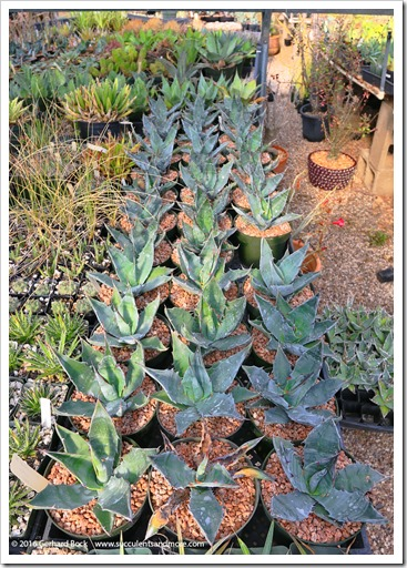 151229_Tucson_GregStarr_0006_Agave-sobria-pseudogigantensis-