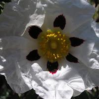 11 Cistus ladanifer. Jara pringosa. Flor de seis pétalos