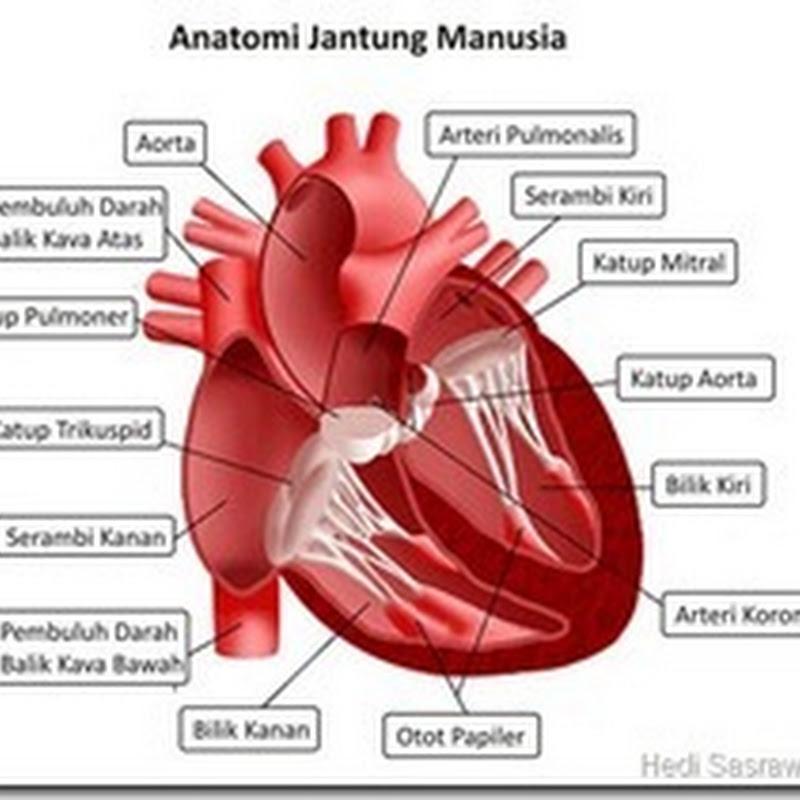 Fungsi Jantung ,  Fungsi Pembuluh Darah , Fungsi Pembuluh Nadi , Fungsi Pembuluh Balik