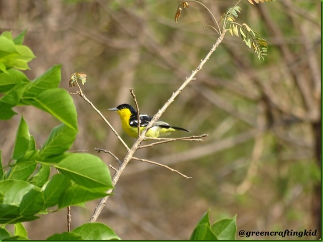 Common Iora5
