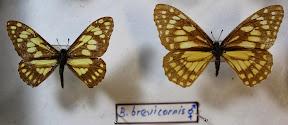BARONIA BREVICORNIS.JPG