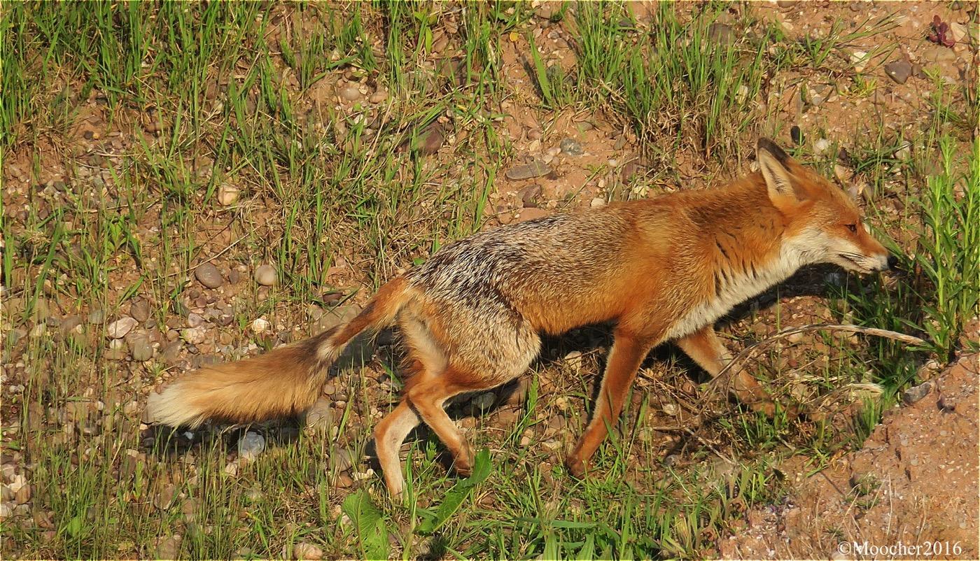 FOXM01