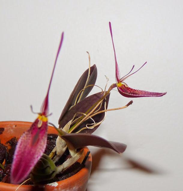 Restrepia condorensis P1430061