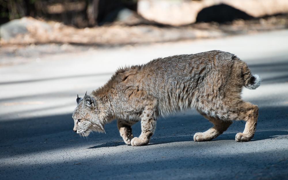 bobcat, рысь