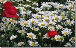 margaritas flores (49)