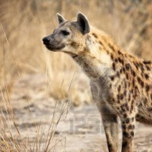 The Pain Tolerance of a Hyena
