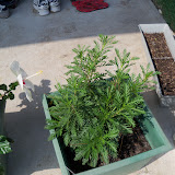 Gardening 2010, Part Two - 101_1958.JPG