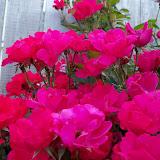 Gardening 2011 - 100_8244.JPG