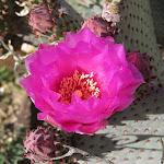 Beavertail cactus bloom - цветущий кактус-бобровый хвост