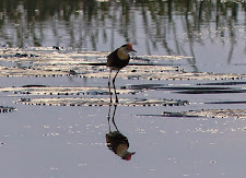Jacana, Lilly walker or Jesus bird. Interesting little wetlands bird with extra large feet that enables it to walk across the lillies... appearing to walk across water.