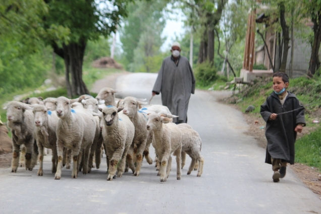 Shepherd wearing face mask and his grandchildren walking along with their flock of sheep towrds grazing field.