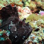 Leaf scorpionfish (Blue Lagoon, Padangbai, Bali)