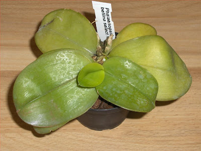 Phalaenopsis Bellina, young orchid species, plant just purchased, in pot with bark mix
