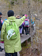 Photo: On the boardwalk, we look at a wetland, with lots of tamaracks, sphagnum moss, Labrador tea and pitcher plants