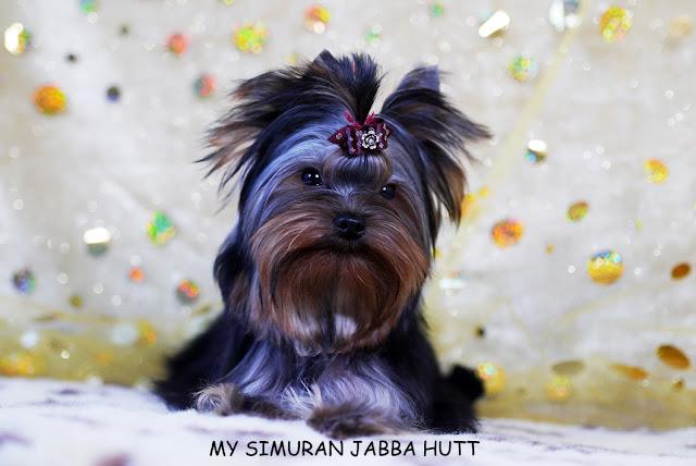 Ch. My Simuran Jabba Hutt (Дюшес) P1070125