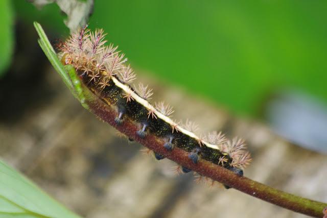 Chenille d'Hemileucinae : probablement Automeris neipelti DRAUDT, 1929. Las Juntas, 1500 m (Carchi, Équateur), 4 décembre 2013. Photo : J.-M. Gayman