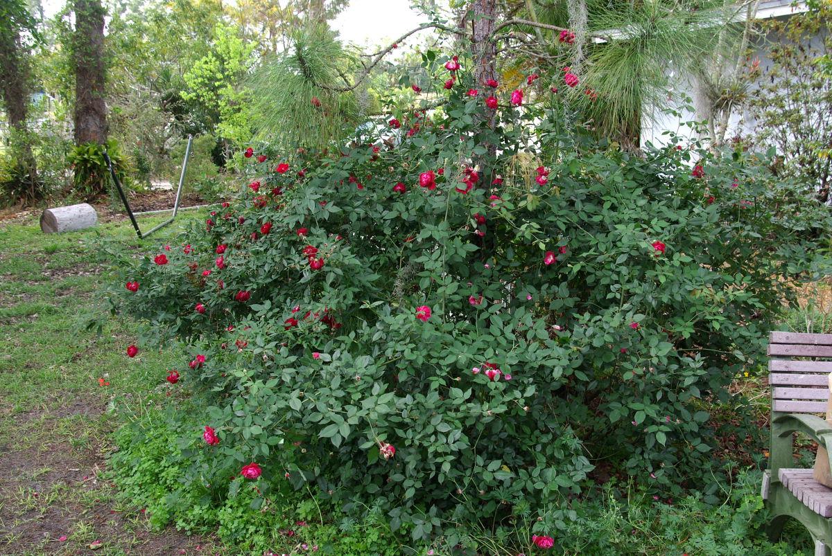 Rufino osorio a visit to the garden of michael manna florida cracker rose sciox Image collections