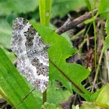Geometridae : Larentiinae : Epirrhoe alternata (MÜLLER, 1764). Les Hautes-Lisières (Rouvres, 28), 21 septembre 2013. Photo : J.-M. Gayman