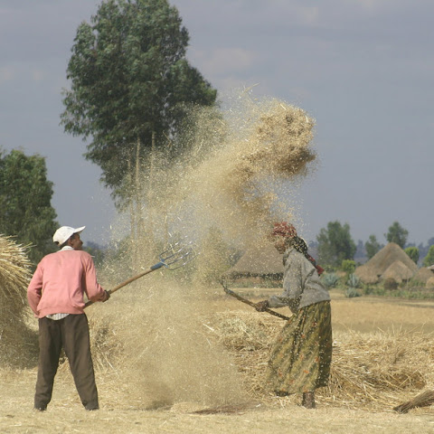 Threshing barley to seperate the grain from the stem and chaff