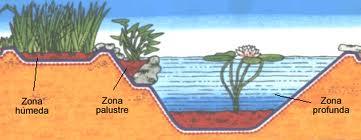 plantamer clasificaci n de las plantas acu ticas