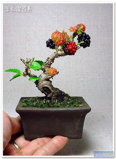 cây dâu bonsai