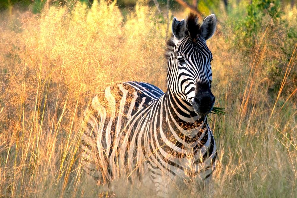 A cebra eating in Botswana Okavango Delta
