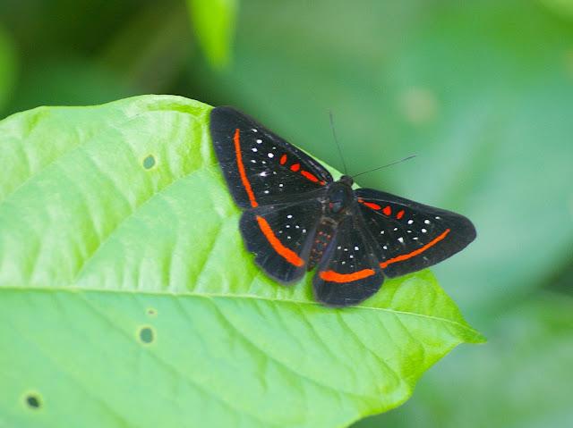 Amarynthis meneria CRAMER, 1776. Saut Athanase (Guyane). 21 novembre 2011. Photo : J.-M. Gayman